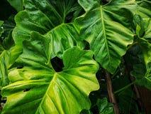 小滴从雨珠的水在细平面海绵体植物的叶子、盖子在样式的静脉和皮肤新鲜的绿色巨型传单  免版税库存照片