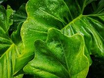 小滴从雨珠的水在细平面海绵体植物的叶子、盖子在样式的静脉和皮肤新鲜的绿色巨型传单  库存图片