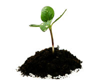 小滴土壤新芽向日葵年轻人 免版税库存图片