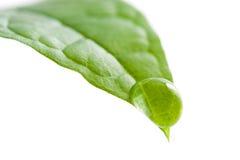 小滴新鲜的叶子水 免版税库存图片