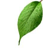 小滴绿色叶子水 图库摄影