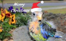 小澳大利亚人Rosella在有圣诞老人帽子的庭院里 免版税库存照片