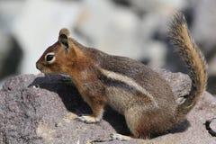 小瀑布金黄被覆盖的地松鼠 免版税库存照片