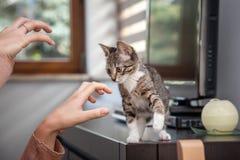 小灰色宠物小猫使用室内 库存图片