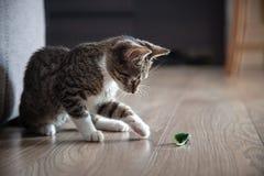 小灰色宠物小猫使用室内 免版税库存照片