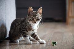 小灰色宠物小猫使用室内 免版税库存图片