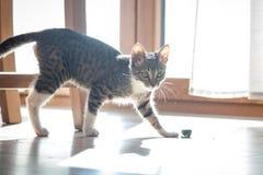 小灰色宠物小猫使用室内 免版税图库摄影