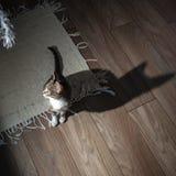 小灰色宠物小猫使用室内 库存照片
