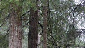 小灰色灰鼠坐树枝在冬天 股票录像