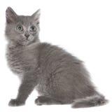 小灰色长发小猫开会 免版税库存照片