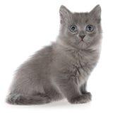 小灰色长发小猫开会 图库摄影