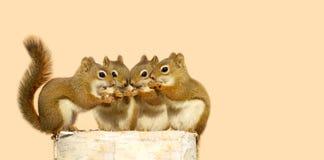 小灰鼠共享。 免版税库存照片