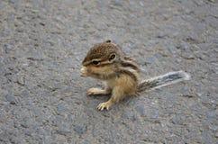小灰鼠吃 库存照片