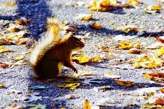 小灰鼠在秋天 免版税库存照片