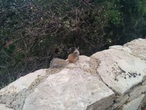小灰鼠调查从石篱芭的灌木 免版税库存图片