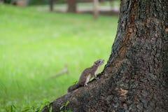 小灰鼠 图库摄影