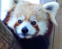 小熊猫红色 库存图片
