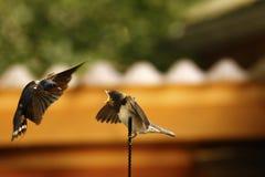 小燕子在汽车空中等待的妈咪栖息哺养它 免版税库存照片