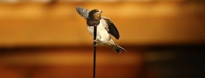 小燕子在汽车空中等待的妈咪栖息哺养它 库存照片