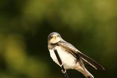 小燕子在汽车空中等待的妈咪栖息哺养它 免版税库存图片