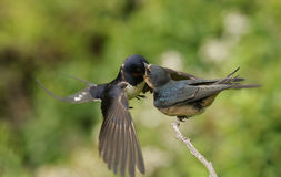 小燕子& x28; 燕属rustica& x29;哺养由在飞行中父母 图库摄影