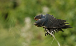 小燕子& x28; 燕属rustica& x29;他们的父母将哺养的等待 免版税库存照片