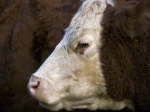小牛一岁 库存照片