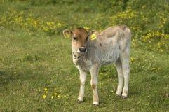 小牛一点 免版税库存图片