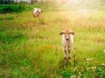 小牛儿童警告的母牛和母亲母牛逗留 图库摄影