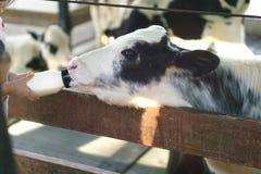 小牛吃牛奶 库存照片