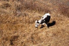 小牛吃着草 图库摄影