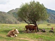 小牛吮一头母牛的乳房在树的背景的 免版税库存图片
