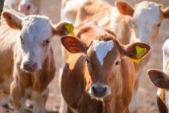小牛和小牛 库存照片