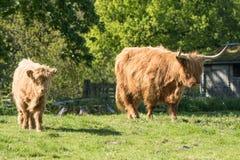 小牛和母亲高地牛在苏格兰 免版税库存照片