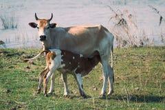 小牛哺养 库存图片