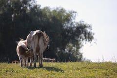 小牛哺养 免版税库存照片