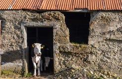 小牛在农村石头棚子 库存图片