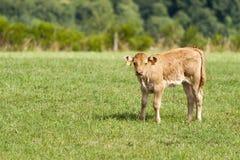 小牛在它的草甸 免版税库存图片