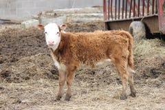 小牛在小小牧场 免版税库存图片