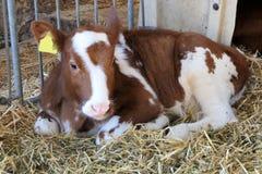 小牛在槽枥 免版税库存照片