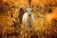 小牛在橙色草甸,舌头 母牛有愉快 库存图片