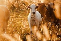 小牛在橙色草甸,舌头 母牛有愉快 图库摄影