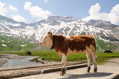 小牛在阿尔卑斯 免版税图库摄影