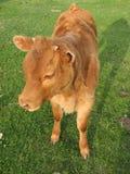 小牛垫铁小块 免版税图库摄影
