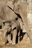 小牛大象 免版税库存照片