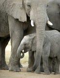 小牛大象 免版税库存图片