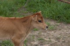 小牛孤立行 免版税图库摄影
