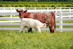 小牛护理 免版税图库摄影