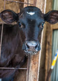 小牛摆在 免版税库存图片