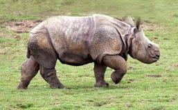小牛更加极大的有角的一头犀牛 免版税库存照片
